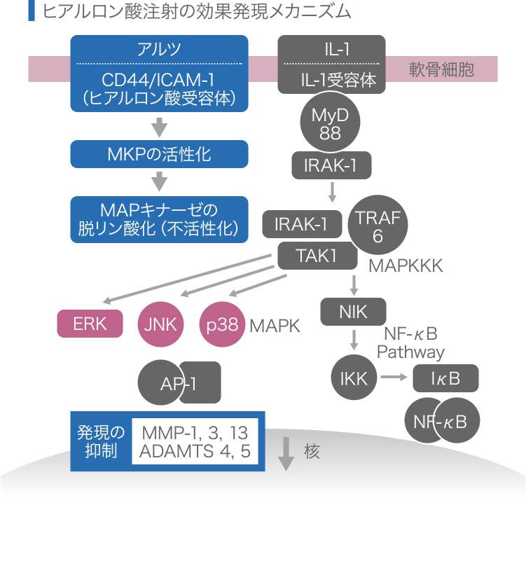 ヒアルロン酸流社の効果発現のメカニズム